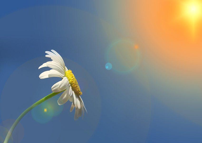 kwiat słońce